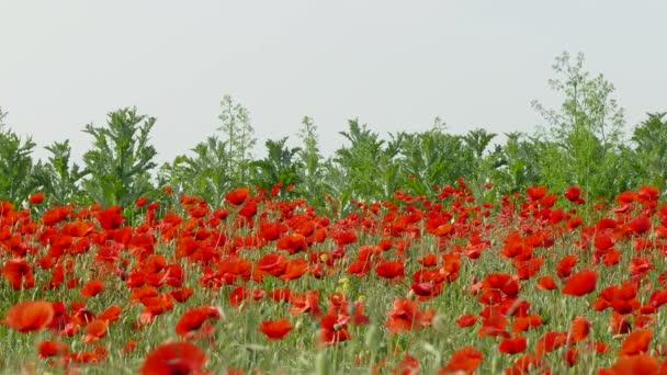 A mező a piros pipacs virágok
