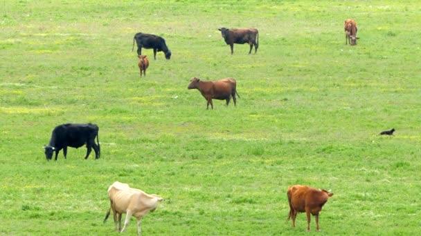 Una mandria di mucche multicolori sul campo