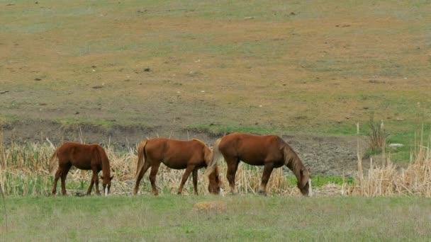 Tři hnědé koně žerou trávu na hřišti