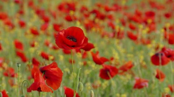 A szél-piros mák virág