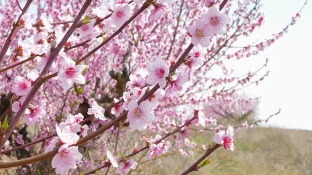 Větve s houpačkou broskvové květy ve větru.