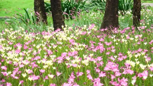 4 k szép zárt téri takarmányozás grandiflora eső liliom mezőben.