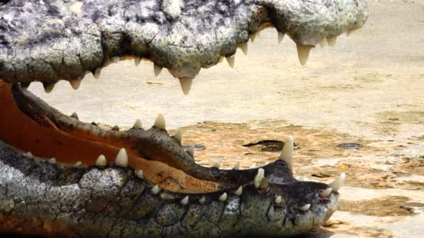 4 k Krokodil Säugetier Tierwelt gefährlich