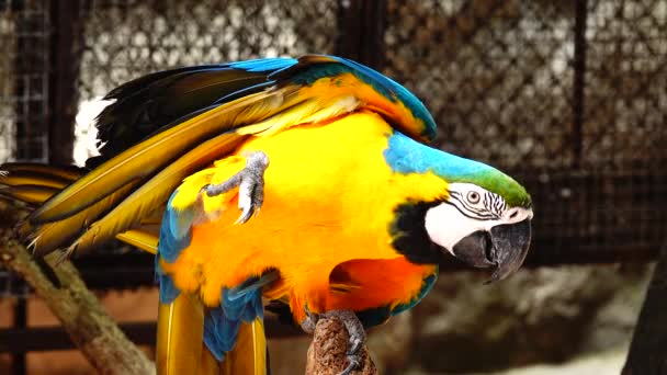 4K The eye blue and gold macaw