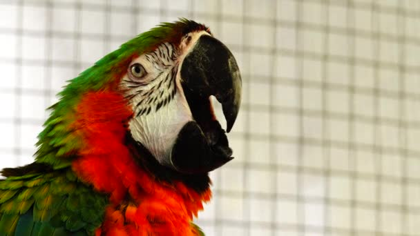 4K red and green macaw