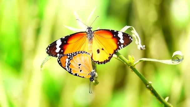 HD 1080p zpomalené thajské Krásný motýl na louce květy charakteru venkovní