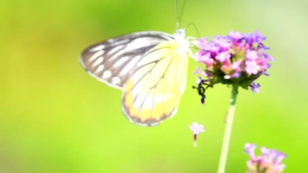 HD 1080p szuper lassú thai pillangó legelő virágok rovar szabadban természet