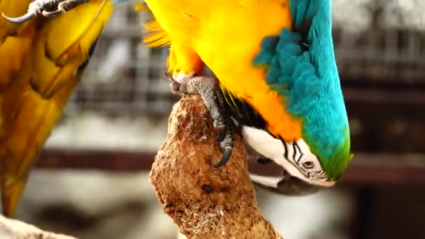 4K Colorful parrot  with bright plumage of blue, yellow, green and white color. Macaw close-up