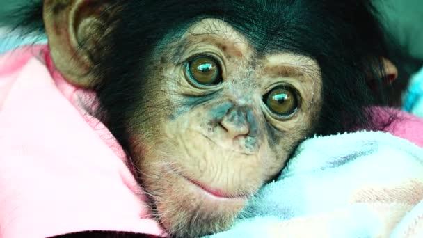 4k a szem baby portré egy baba csimpánz.