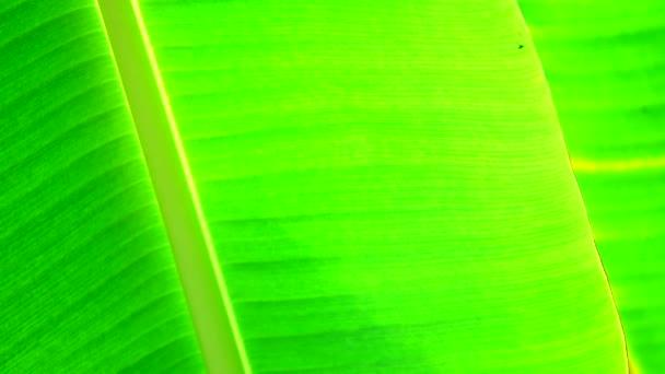 4k zöld banánlevél textúra és háttérbeli
