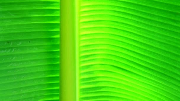 4k zelený listový list banánů a backgound