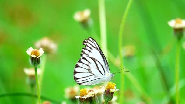 HD 1080p super langsam Thai-Schmetterling auf der Weide Blumen Insekt Natur im Freien