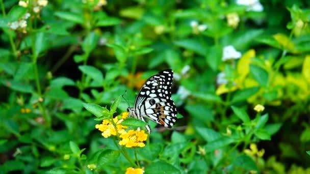 HD 1080p super pomalé thajské motýl na pastvině květiny hmyz venkovní příroda