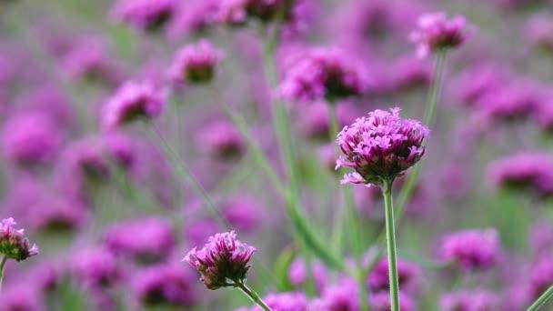 4k fialová květenka slovní vlastnosti Verbena Bonariensis