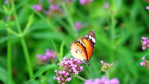 HD 1080p super slow Thai butterfly in pasture VERBENA BONARIENSIS flowers Insect outdoor nature backgound