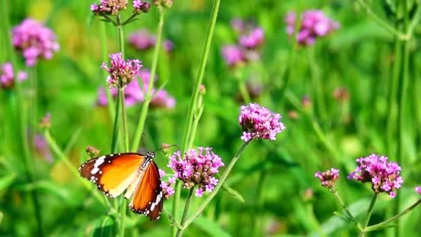 HD 1080p super pomalý thajský motýl na pastvinách Verbena Bonariensis květiny venkovní přírodní rezervace
