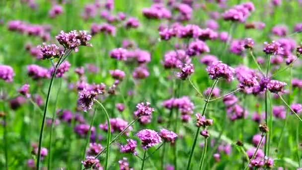 HD 1080p super slow Violet flowers of VERBENA BONARIENSIS nature backgound