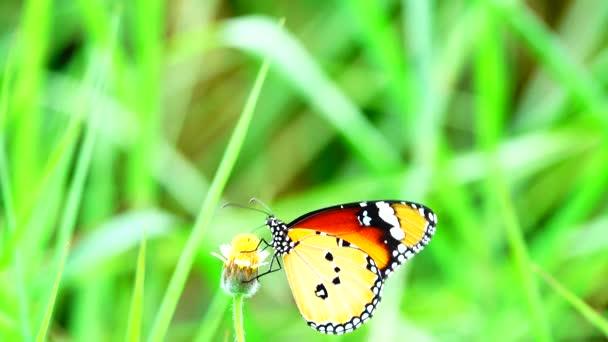 4K Thai schönen Schmetterling auf der Wiese Blumen Natur Outdoor-Background