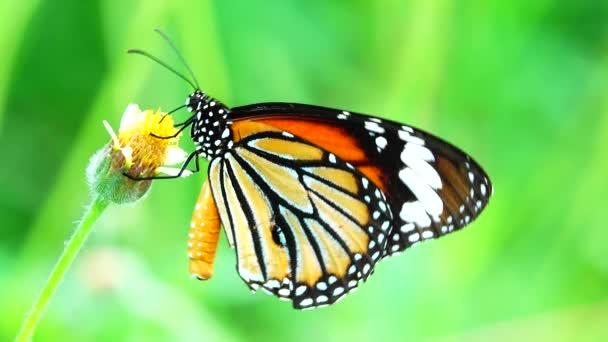 4K thajský krásný motýl na louce květiny příroda venkovní backgound