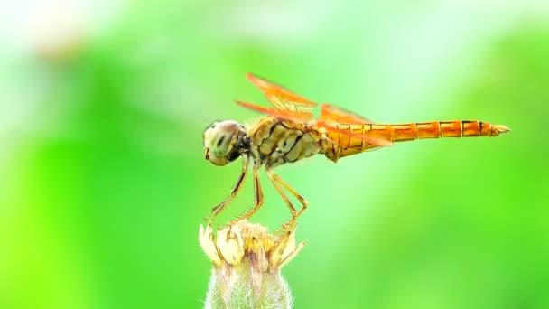 4K schöne gelbe schwarze Libelle fliegen Fang auf Baum in schönen Morgensonnenaufgang. Libelle ist charakterisieren große facettenreiche Augen zwei Paare von starken transparenten Flügeln farbige Flecken
