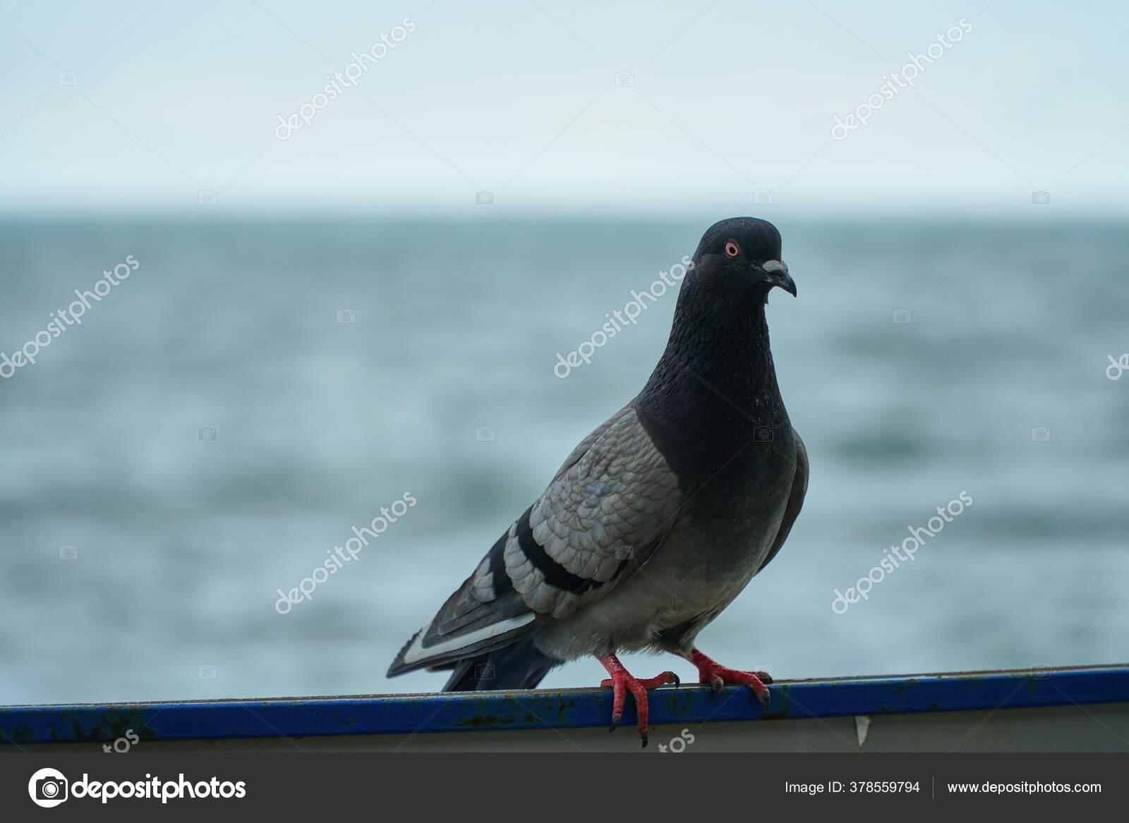 Картинки высокого качества голубей