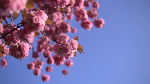 pale pink cherry blossom flowers blooming