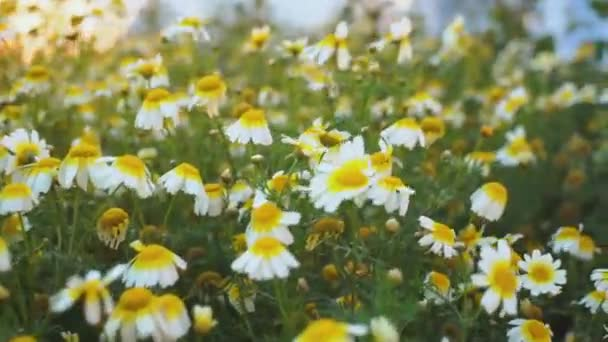 Fligth across the chamomile field at dawn. Field flowers shining in a morning sunbeams and bumping up on camera lens. slow motion