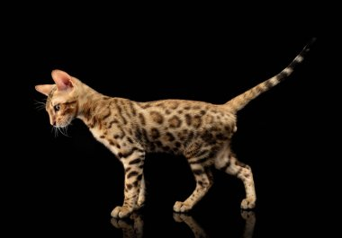 Portrait of young bengal purebred cat on black background