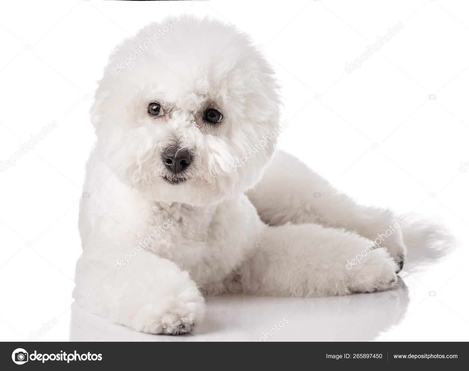 Bichon Frise Puppy Dog Isolated White Background White Dog Bichon Stock Photo C Fotoatelie 265897450