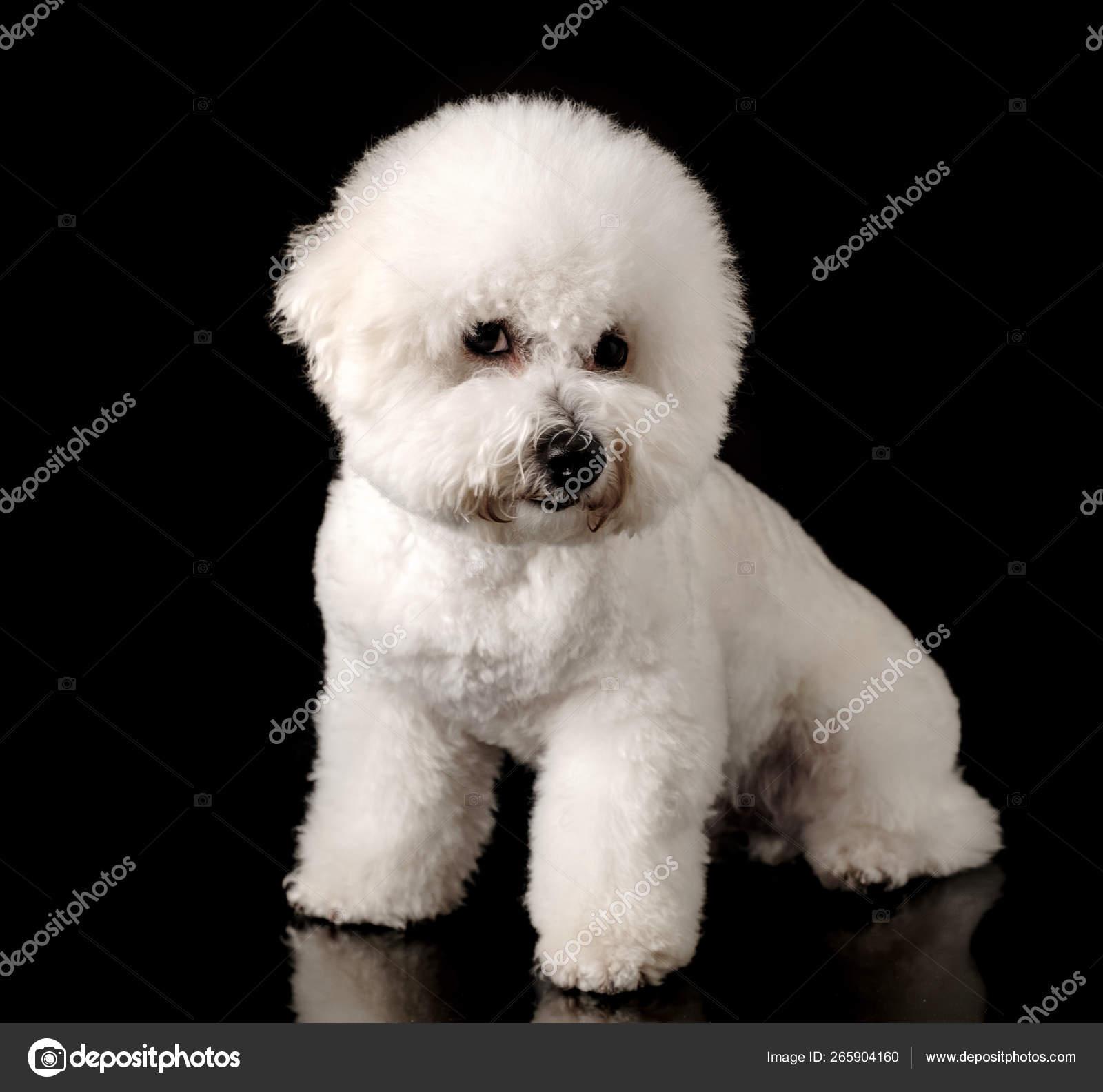 Bichon Isolated Black Background Bichon Frise Puppy White Dog Bichon Stock Photo C Fotoatelie 265904160