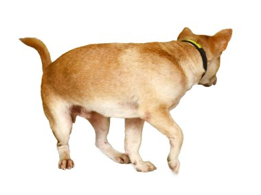 Curious Labrador Retriever Dog Laying At An Angle