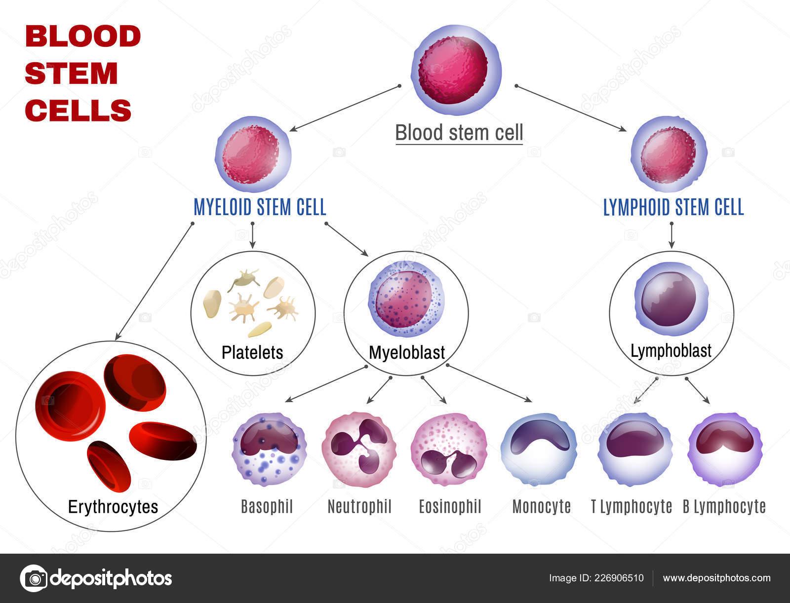 Sangre tipos de celulas