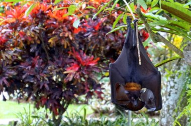 Megabat - Megachiroptera, family Pteropodidae of the order Chiroptera (bats). They are also called fruit bats, flying foxes, flying dogs.