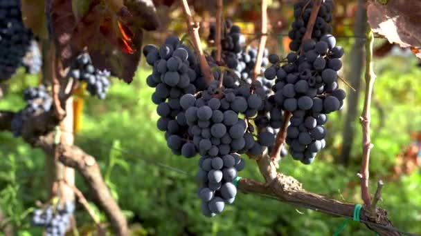 Detailní záběr hroznů na sicilské biologické vinici