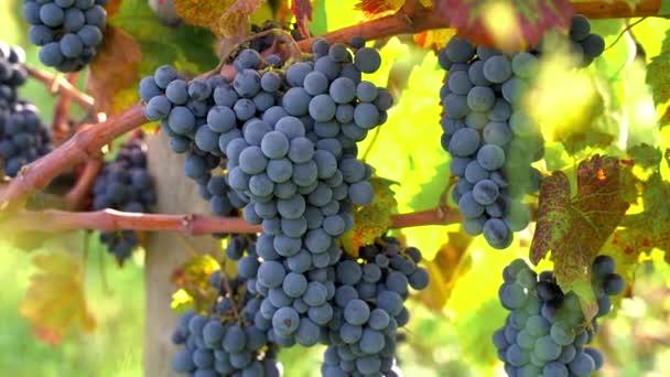 Detailní informace o hroznech vinné révy, Sicílie, Itálie. Biologické zemědělství