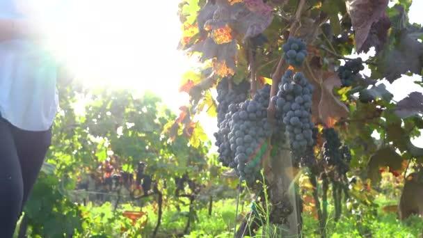 Blondýny dívka sbírání hroznů během sklizně, východ slunce na vinici