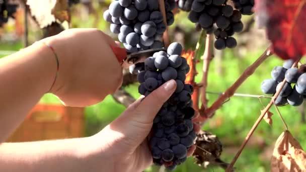 Mladá žena ruce sbírání graps z rostliny, biologická vinice