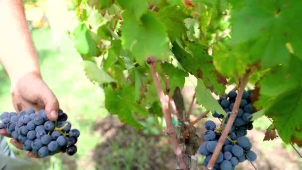 Mladý muž sklízí hrozny z vinné révy, sicilské vinice