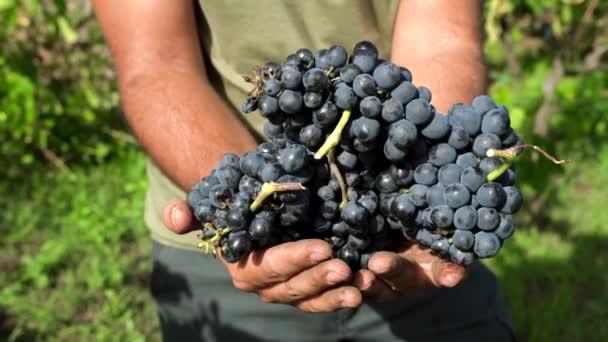 Vinař držící v rukou červené hrozny vína