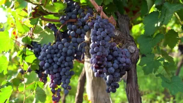 Spumante szőlő a növényen, biológiai szőlő