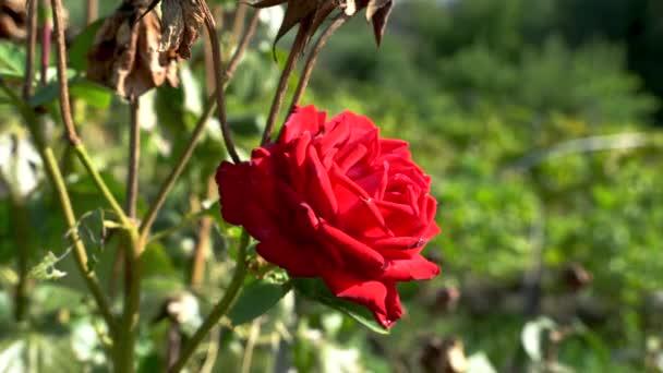 Egy vörös rózsa a szőlőskertben