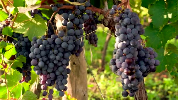 Grapes on the grapevine