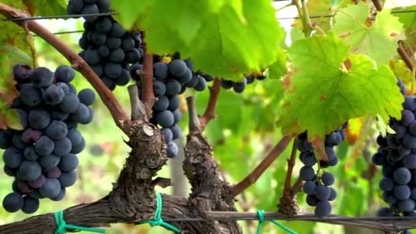 Sklouznout k hroznům na vinné révě, italská vinice