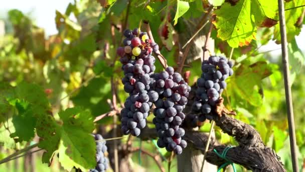Pickinig grapes of red wine from the grapevine