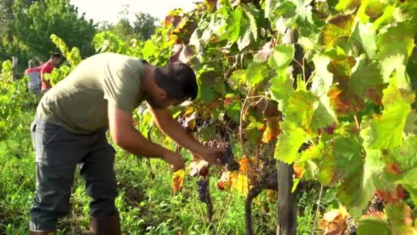 Mladý krajan pracující ve své vinici a sbírající hrozny