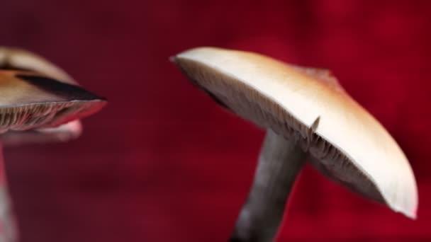 A mexikói varázsgomba egy psilocybe cubensis, egy pszichedelikus gomba faj, amelynek fő aktív elemei a psilocybin és a psilocin - mexikói psilocybe Cubensis. Egy felnőtt gombaeső spórák. Vízszintes videó. 4k.