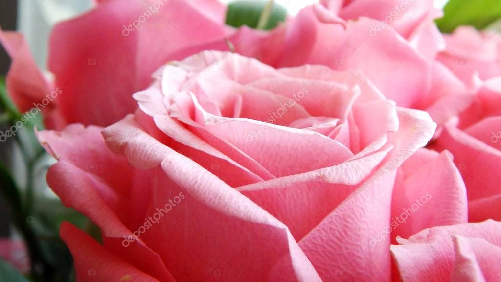 A big pink rose as a gift to your beloved