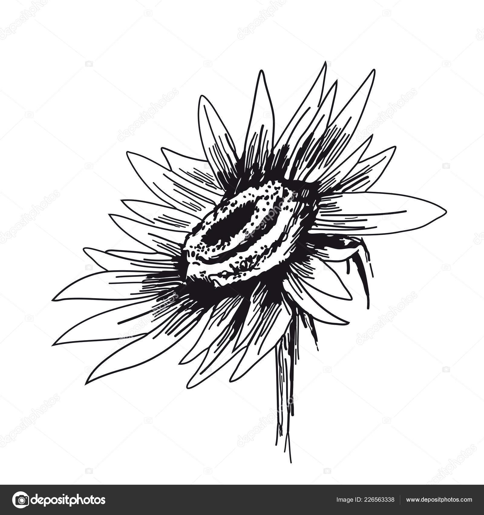 Girassol Em Fundo Branco Mao De Desenhos Vetoriais Desenhada
