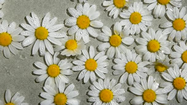 Spraying the Camomile Flowers, watering white daisy flower on summer day, water surface, top view