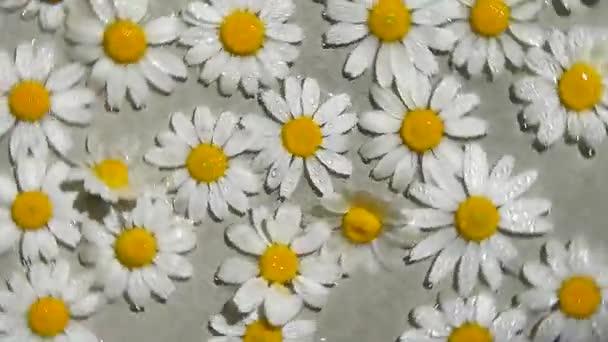 barevné sedmikrásky letní květiny rotující. zblízka letní květinové složení bílý heřmánek plovoucí na vodní hladině, výhled shora, kosmetické ošetření, bylinný lék